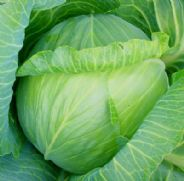 Cabbage Glory of Enkhuizen - Appx 800 seeds
